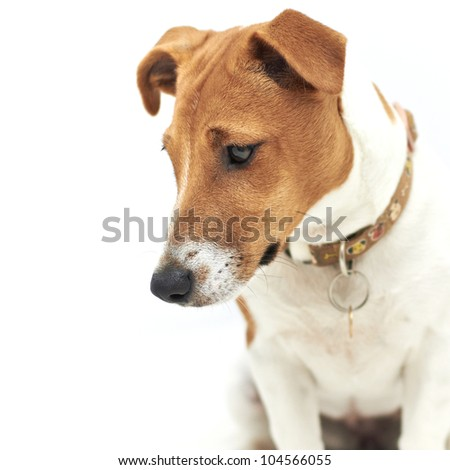 White and brown Jack Russell Terrier dog looking down - stock photo