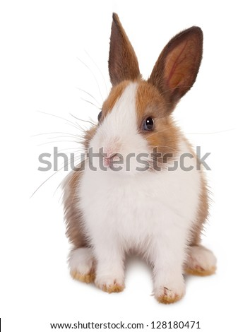White and brown little baby rabbit on a white background