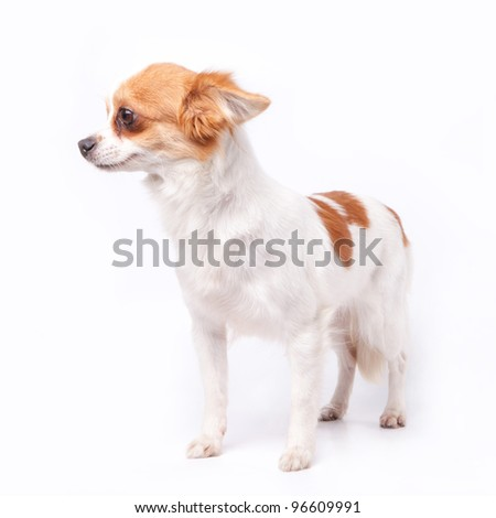 White and brown long hair chihuahua