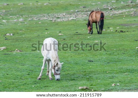 White and brown Nepalese horses graze at uphill pasture near the nomad camp. Upper Mustang. Nepal.