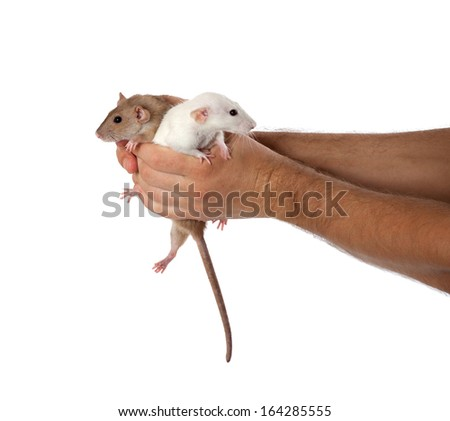 White and brown rats in hands. Isolated on white background. - stock photo