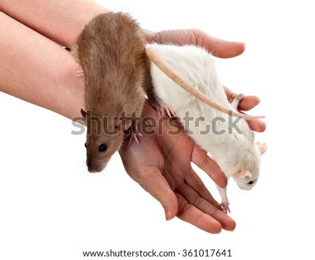 White and brown rats on hands. Isolated on white background. - stock photo