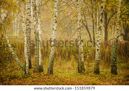 white and golden birches, autumn morning