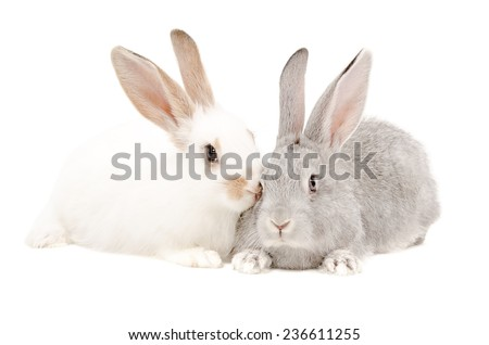 White and gray rabbits together isolated on white background - stock photo