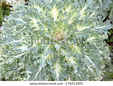 White and green cabbage flower. - stock photo