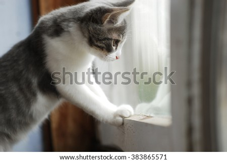 White and grey little kitty looks in balcony window in summer day