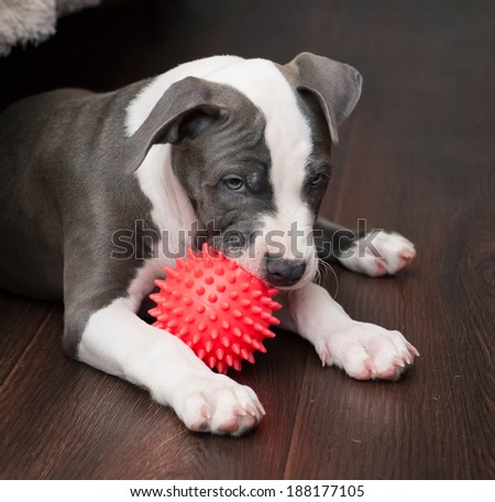 White and Grey Pitbull laying down with colorful toy. Blue nose staffordshire - stock photo
