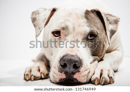 White and Grey Pitbull laying down with head between paws - stock photo