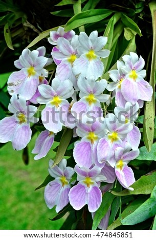 White and light purple tropical orchid flowers