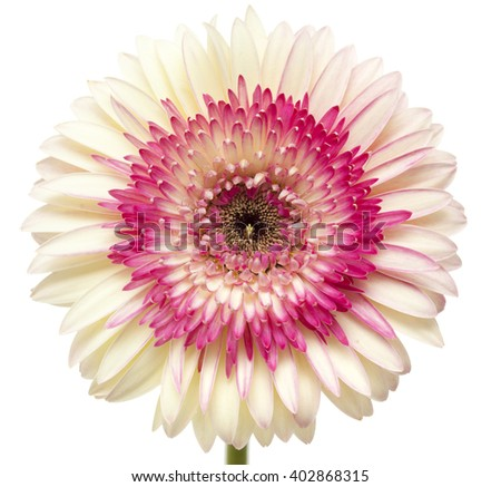 white and magenta gerbera flowers isolated on white background - stock photo