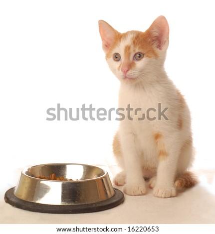 white and orange kitten sitting at food dish - seven weeks old - stock photo