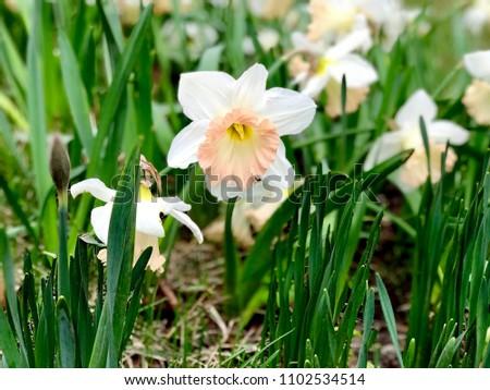 stock-photo-white-and-orange-narcissus-f