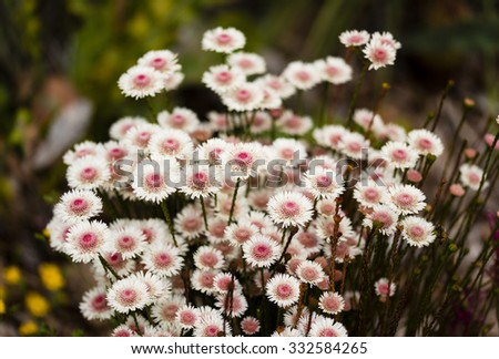 White and pink Australian wildflowers - stock photo