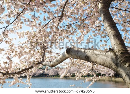 white and pink blossoms on trees around the Tidal Basin in Washington D.C. during the Cherry Blossom Festival - stock photo
