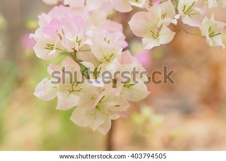 White and pink bougainvillea blossom in winter