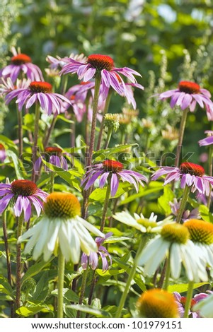 White and pink coneflowers in the summer garden. - stock photo