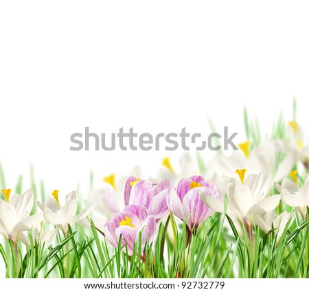 White and pink crocuses on white background