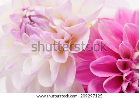 White and pink dahlia close-up, floral background. - stock photo