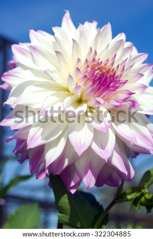 White and pink dahlia on blue sky - stock photo