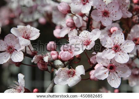 white and pink flowers of a chinese cherry in spring