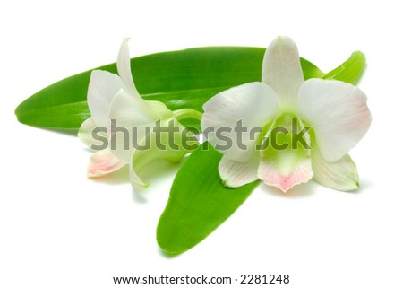 White and Pink Malaysian or Bangkok Orchid blooms with leaves, isolated on white