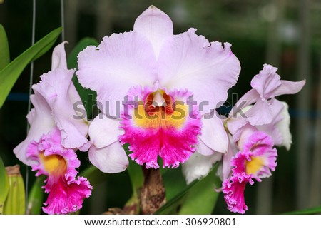 White and Pink orchid flower close up.