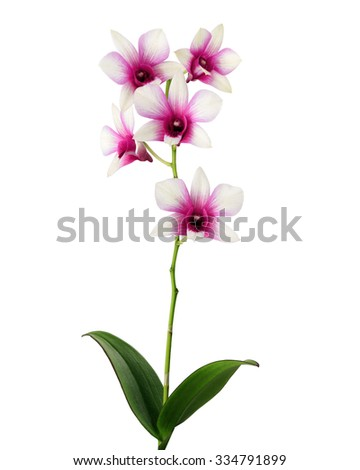 white and pink orchid flowers isolated on white background with stem and leaves - stock photo