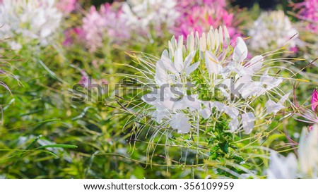White and pink Spider flower(Cleome hassleriana) in the garden for background use - stock photo
