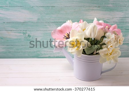White and pink  tulips and narcissus in decorative watering can  on white painted wooden background against turquoise wall. Selective focus. Place for text.  - stock photo