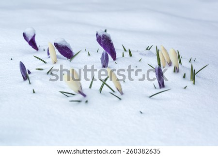 White and purple crocus flower bed covered with snow in early spring. - stock photo