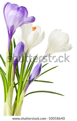 White and purple spring crocus flowers isolated on white background - stock photo