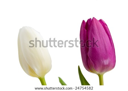 white and purple tulips isolated
