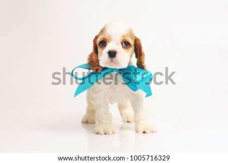 White and red American Cocker Spaniel puppy standing indoors on a white background wearing a blue ribbon bow on its neck