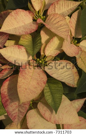 White and red marbled poinsettia - stock photo
