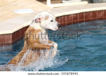 White and red pitbull splashing and jumping in the pool - stock photo