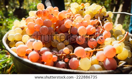 White and red wine grapes in buckets after the harvest at the vineyard. Toned picture - stock photo