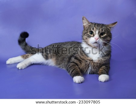 White and striped spotted cat lying on blue background - stock photo