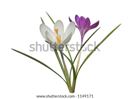 White and violet crocuses isolated on white