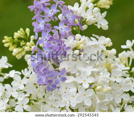 White and violet Lilac twig on the green background - stock photo