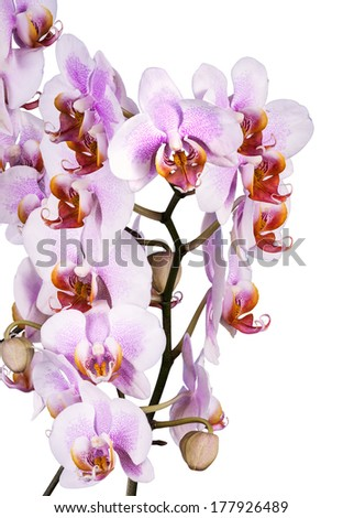 White and violet orchids closeup on the white background
