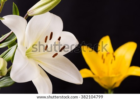 White and yellow asian lily flower in front of black background - stock photo