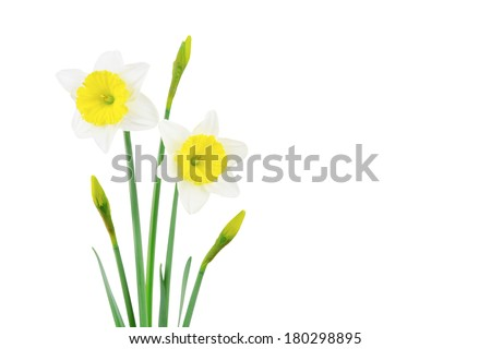 White and yellow daffodil flowers, leaves and buds, isolated on a white background.
