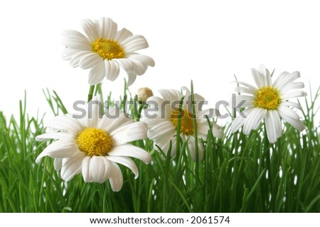White and yellow daisies in grass field with white background - stock photo