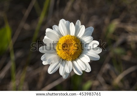 White and yellow flower chamomile