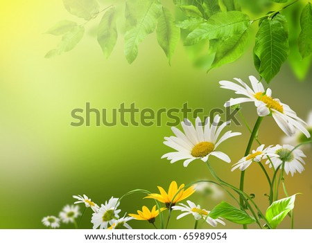 White and yellow flowers daisywheel on green background with green leafs - stock photo
