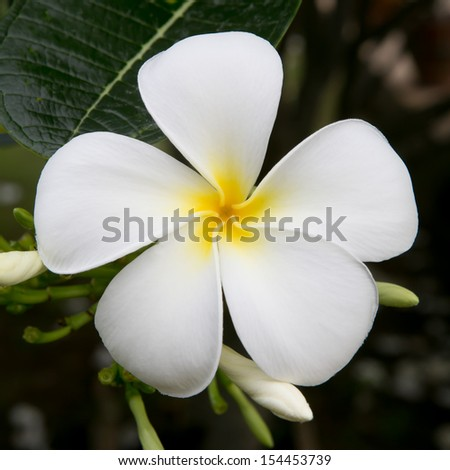white and yellow frangipani flowers