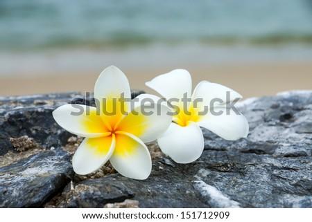 white and yellow frangipani flowers on the stone. - stock photo