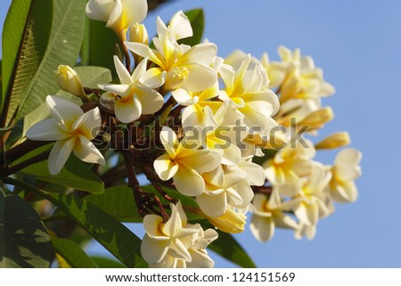 White And Yellow Frangipani Flowers With Leaves - stock photo