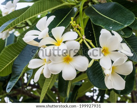 white and yellow frangipani flowers with leaves