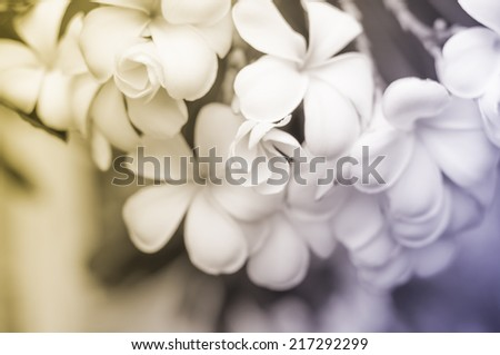 white and yellow frangipani flowers with leaves, Blur background - stock photo